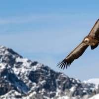 Buitre Leonado volando la sierra de cazorla